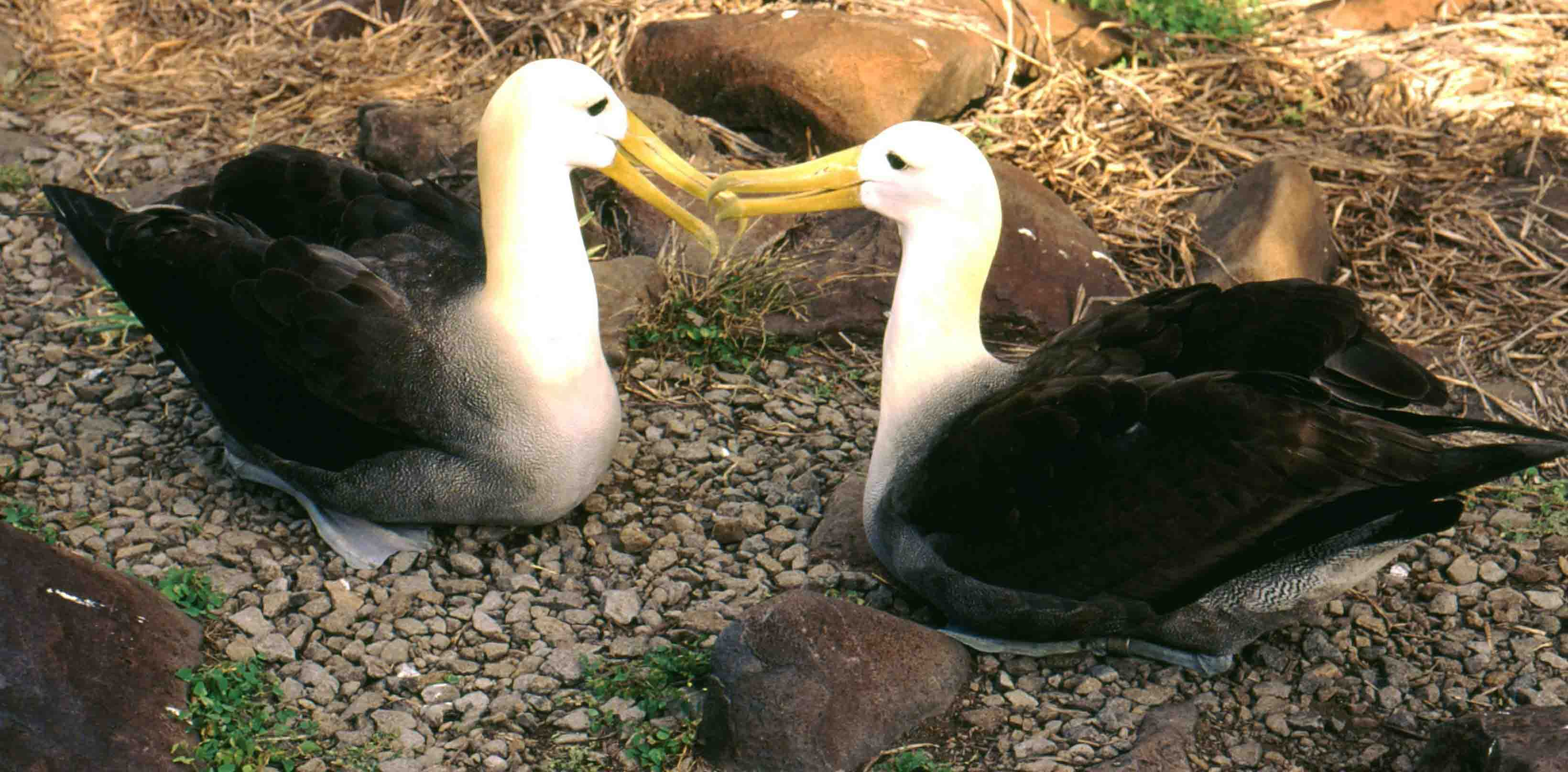 Albatross pair.jpg