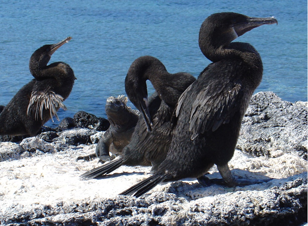 flightless_cormorant.jpg
